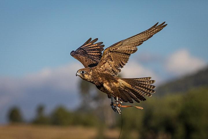 Birds of Prey, Greater Brisbane Region image