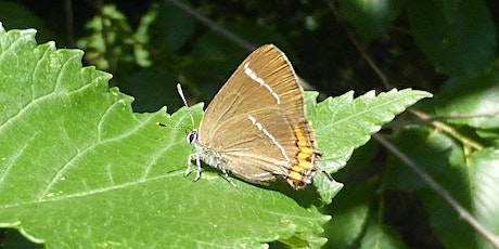 White-letter Hairstreaks in Surrey and south London tickets