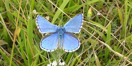 Blue Butterflies at Box Hill: illustrating chalk grassland management tickets