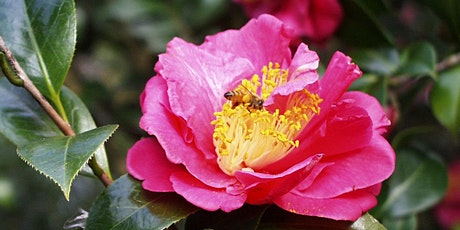 Camellia Walking Tour with Robert Bowden tickets