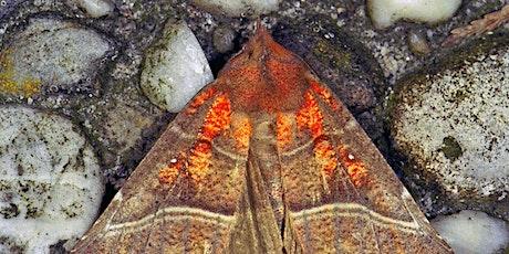 Moths of February - Digital Wildlife Walk tickets