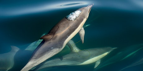 An Introduction To The Short-Beaked Common Dolphin: Behaviour & Biology boletos