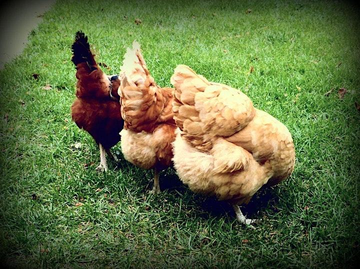 Basic Backyard Chicken Keeping (Virtual) image