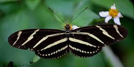 Discover How to Attract 15 Different Butterflies to Your Garden - Zoom tickets