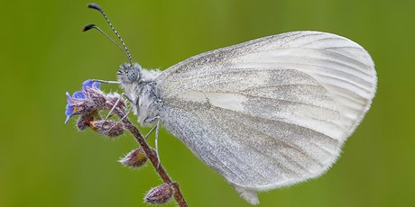 Introduction to Wood White Butterfly tickets
