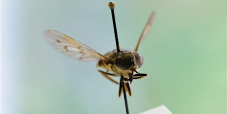 Making and keeping a Diptera collection Webinar tickets