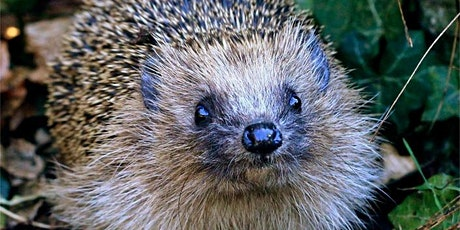 Environment Week 2021 - How to help hedgehogs (before it's too late) tickets