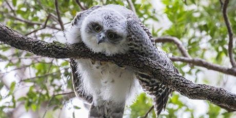 BirdLife Australia; Owl workshop & training - Gold Coast tickets