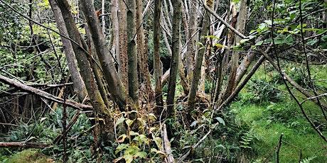 Tree health focus: sweet chestnut tickets