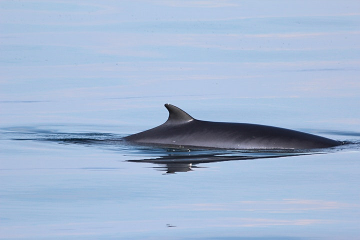 SPECIES SPOTLIGHT: Minke Whales and Basking Sharks image