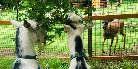 Animal's Eye View: A Goat and Zookeeper Walking Encounter tickets