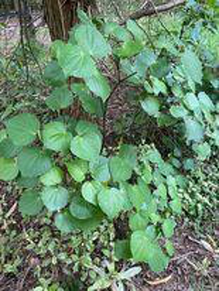 Rongoa Maori-Basic Native Plant Identification image
