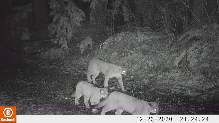 Cougars in our backyards image