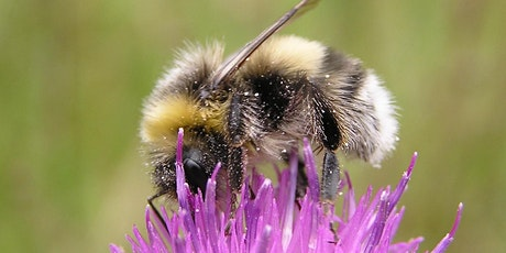 Ecology of Bumblebees and their Identification for Beginners tickets