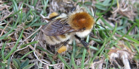 Ecology of Bumblebees and their Identification for Intermediates tickets