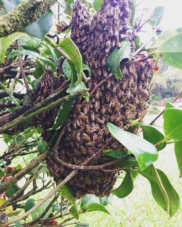 Swarm Catching with Gulf Coast Beekeeping School image