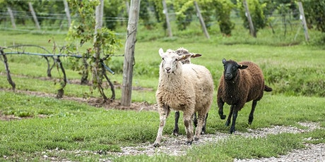 Unique  Black Sheep Vineyard Tour tickets