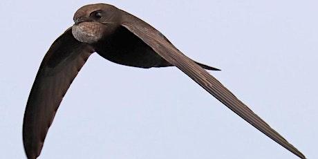 Live Webinar:  Swifts - A Bird You Can Help! entradas