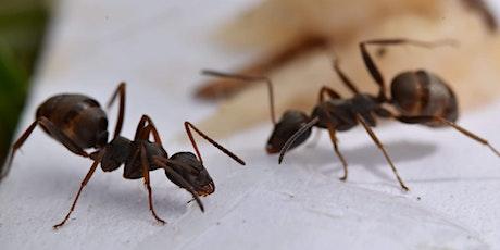 Formation à la reconnaissance des fourmis en ville - niveau 1 billets