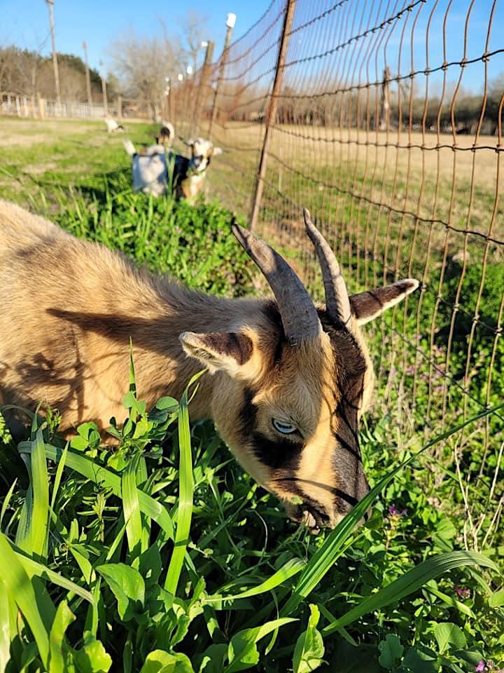 Goat Sip & Stroll image