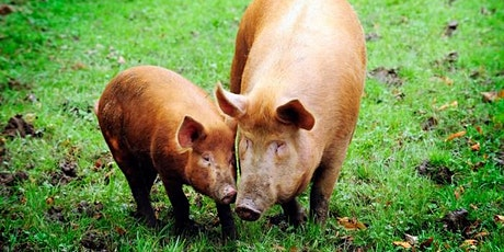 Rare Breed Pigs and Rewilding. Do they have a part to play? tickets