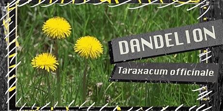 Foraging for Dandelions   Cooking Dandelion Fritters! tickets