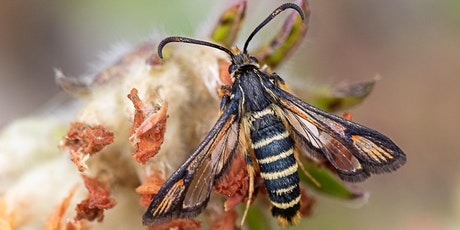 Clearwing Moths - an overview tickets