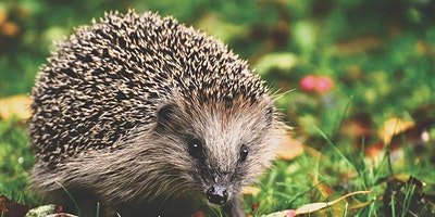 Green Week 2021 - How to help hedgehogs (before it's too late)