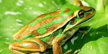 Webinar: Green and Golden Bell Frogs in the Cooks River tickets