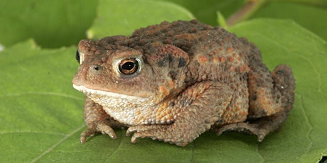 An Introduction to the Common Toad: Behaviour, Biology and Conservation tickets