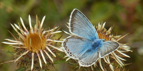 Chiltern Butterflies - Online talk tickets