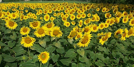 Painting a Field of Sunflowers In Watercolour tickets