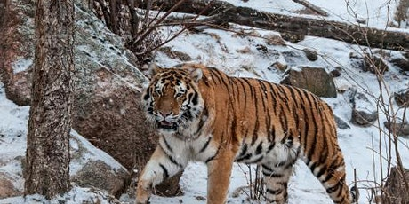 Zoom at the Zoo: Tour America's Mountain Zoo from Home! tickets