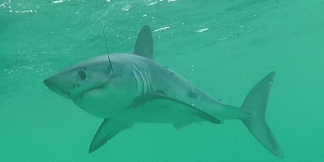 A spotlight on porbeagle sharks - FREE Angling Trust  Sea Angling forum tickets