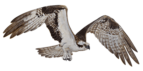 Welcome Back Osprey tickets