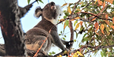 Koala Watch on the Tweed - free workshop tickets