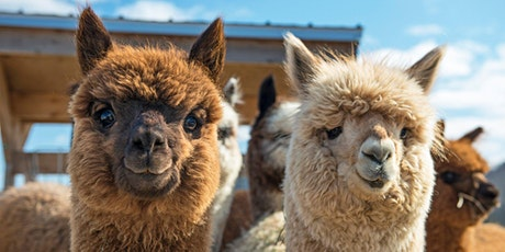 ALPACA MEET & GREET inc VIP USE of the GARDEN BELLE + COFFEE & CAKE - JULY tickets