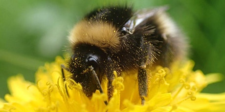 Taking Common Bumblebee ID Further tickets