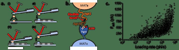 FluidFM in mechanobiology: Talk on yeast by M. Mathelié-Guinlet + live demo image