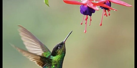 Spring hummingbird - watercolor painting tickets