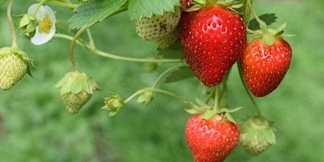 Strawberry U-Pick with Club Everyone, Me, and U tickets
