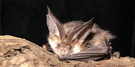 The magic of bats at Leigh Woods! - SOLD OUT tickets