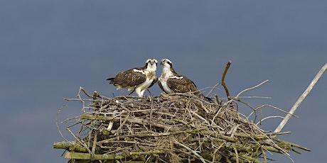 Wildlife Live Webinar - Bringing Ospreys back to Suffolk (EWC2821) tickets
