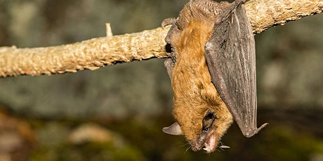 Virtual Bat Event - Part 1: Bat Conservation in the Time of COVID-19 tickets