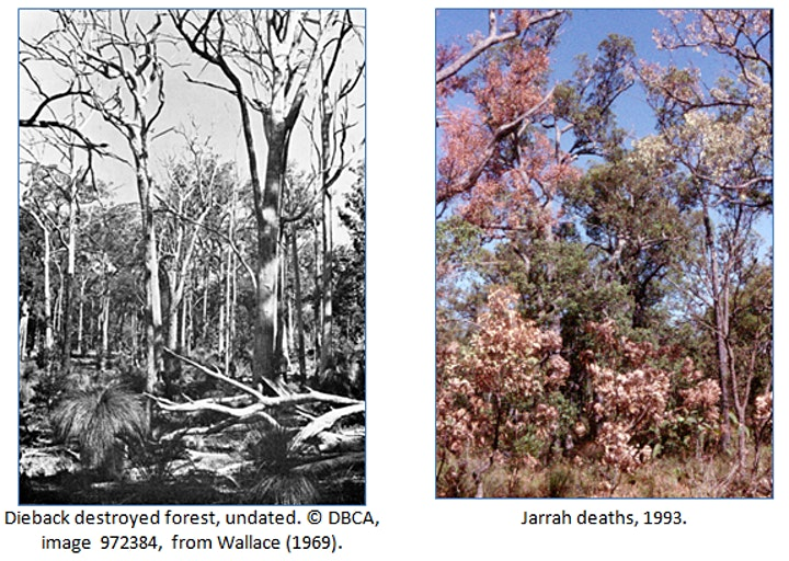 RSWA monthly talk: Tree deaths - a cold case review of jarrah deaths image