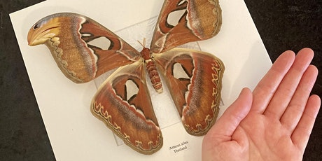 Atlas Moth Pinning tickets