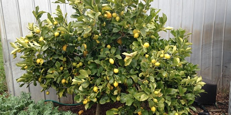 Lemon tree success in a cold climate tickets