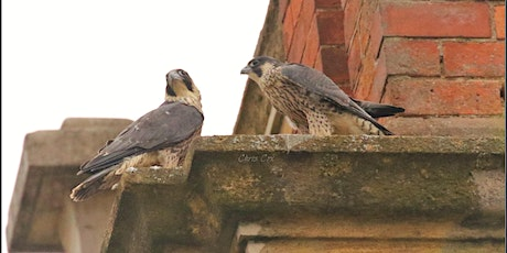 Urban Peregrines with Ed Drewitt tickets