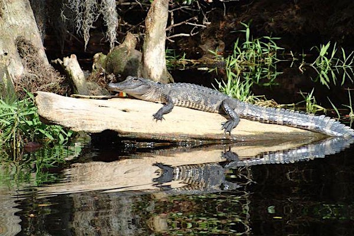 Okefenokee Gator Hunt (Cameras Only), Spring in the Swamp!! image