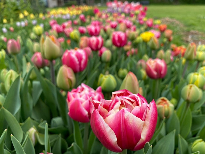 Pick Your Own Tulips - Saturday 17th April image